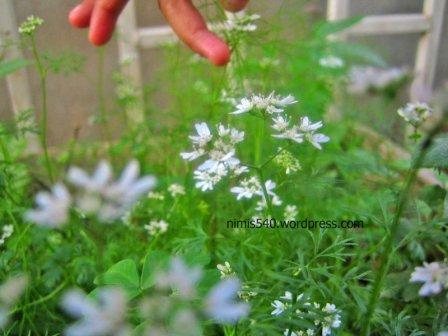 coriander-flowers1