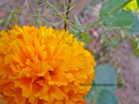 crysanthamam1
