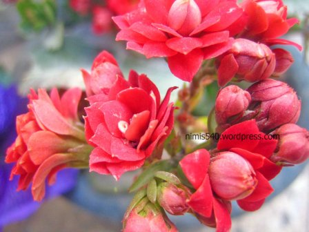 hyacinth-buds1