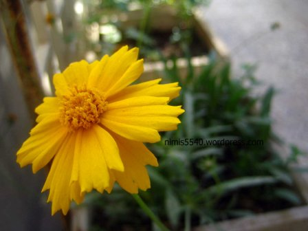 yellow-flower3