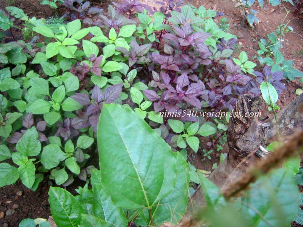 Vegetable garden in home kerala joy studio design for Kerala garden designs